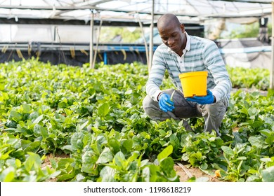Successful African-American farmer working in greenhouse, engaged in cultivation of organic Malabar spinach