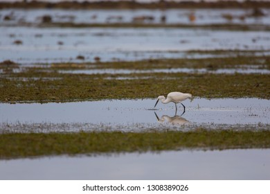 successful foraging little egrets in the low tide shallow water blue sea in a morning sunrise tranquil scene