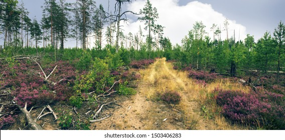 Succession of North forest station, rejuvenation. Wasteland with remains of pine forest that burned down twenty years ago. Rose undergrowth of pine, heather (fells), forest road. Sylviculture, ecology