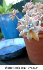 Succulent and blue pot