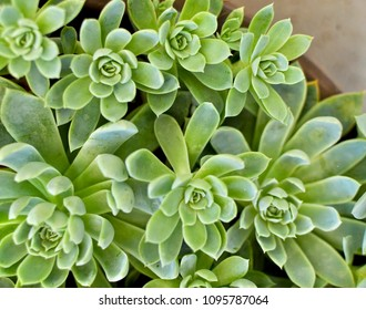 Succulent cactus close up at sunny day. Green plant for natural background. Bunch of beautiful flowering echeveria, sedum succulent house plants