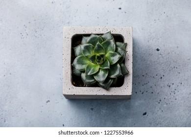 Succulent cactus plant Echeveria Perle in concrete pot on gray concrete background
