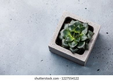 Succulent cactus plant Echeveria Perle in concrete pot on gray concrete background copy space