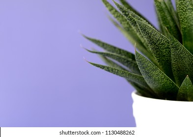 Succulent and cactus in a white flower pot on a solid color background with copy space. Modern minimalist home decor.