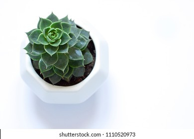 Succulent flower in the pot on the white background. Close up. Copy space