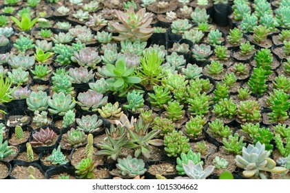 Succulent flowerbeds plant in the garden. This is a species of cactus family that is resistant to extreme weather and is decorated in the home