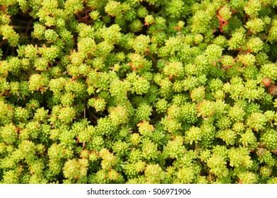 Succulent green sedum lydium plant
