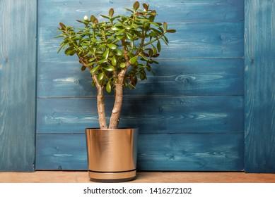 Succulent houseplant Crassula ovata in a pot on a blue wooden background