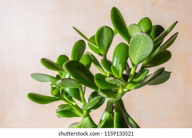Succulent houseplant Crassula. Selective focus.