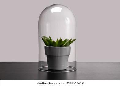 Succulent houseplant inside a glass terrarium. Protected plant inside a glass sphere