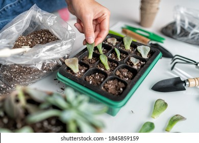 Succulent leaf propagation diy. Woman gardening at home planting plant leaves in potting mix propagator tray for sprouting. Indoor garden in apartment.