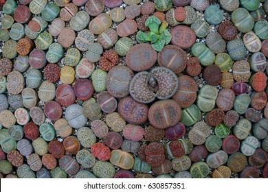 succulent lithops