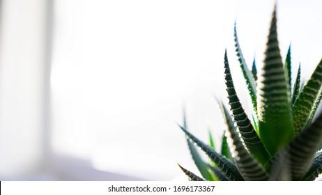succulent on the window. flower insulator, white background
