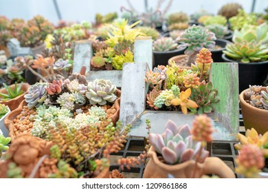 Succulent Ornamental plants are beautifully decorated and decorated.