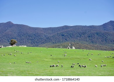Succulent pasture with sheep in the Australian mounatins