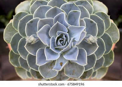 Succulent plant called Echeveria Lilazina. Horizontal composition