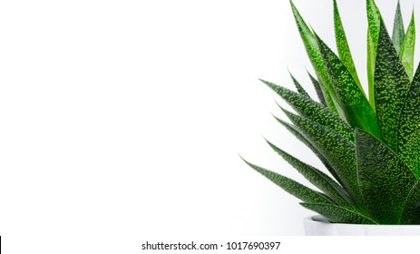 Succulent plant close up. Succulent house plant isolated on white background, web banner with copy space.