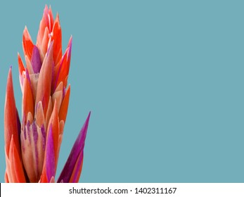 Succulent plant coral color of year 2019 isolated on blue background. Unusual succulent cactus in trendy coral violet colors. Tropical coral succulent flower leaves as modern fashion abstract backdrop