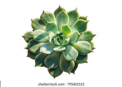 "The succulent plant ""Echeveria parva"" (Crassulaceae family) from America, evergreen or deciduous plant. Soft macro cactus isolated on white background."