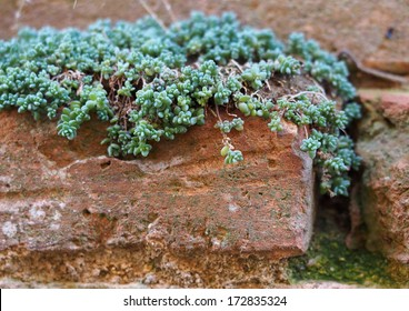 Succulent plant growing on old terracotta bricks