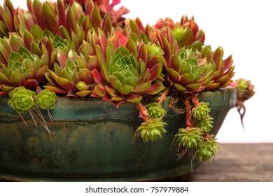 Succulent plant houseleek (Sempervivum in a pot as close up