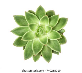 Succulent plant isolated on white background. Top view