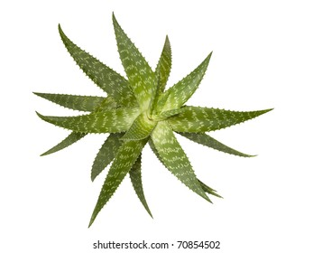 A succulent plant, known as true or medicinal Aloe Vera, isolated over white background. It is used in healthcare, health products & herbal medicine.