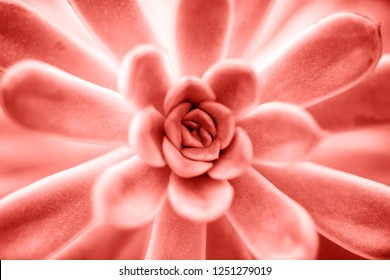 Succulent plant in Living coral color close up background. Pantone color of the year 2019 concept.