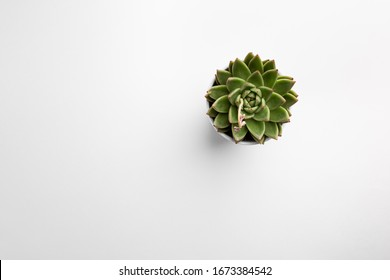 Succulent plant on white background. Minimal floral flat lay