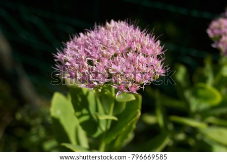 Succulent plant pink flowers stock photo edit now 796669585 succulent plant with pink flowers mightylinksfo