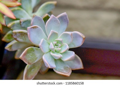 Succulent plant, Sempervivum Atroviolaceum, Hens and Chicks, isolated, beautiful plant, light green, pink