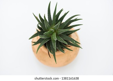 Succulent plant of spikey haworthia. Closeup top view isolated on white background.