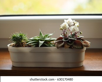 Succulent plants and african violet in white pot decorate on window