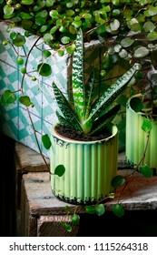 Succulent plants in green pot.