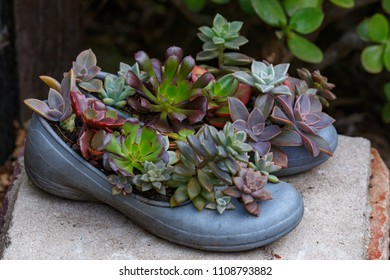Succulent plants growing in the shoes in the garden