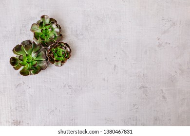 Succulent plants on concrete background; flat lay with copy space