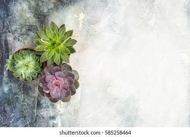 Succulent plants on concrete stone background. Minimal floral flat lay