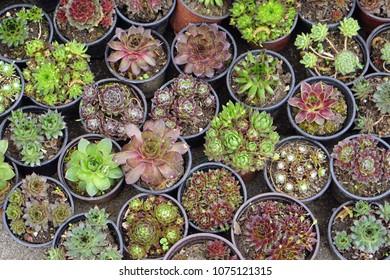 Succulent plants in pots at nursery garden from top