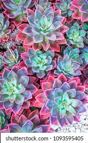 Succulent plants top view, echeveria succulents arranged on the ground