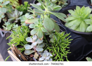 Succulent pot plants for sale in market