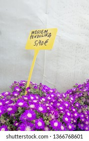 Succulent purple flowers Messem Pendulina and yellow plastic sign with price in euro. Spring garden series, Mallorca, Spain.