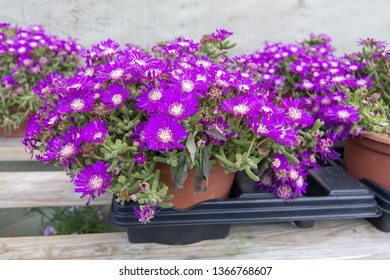 Succulent purple flowers Messem Pendulina. Spring garden series, Mallorca, Spain.