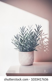 Succulent  Senecio serpens or Blue Chalksticks in pot on white table at wall background, House plant and interior concept