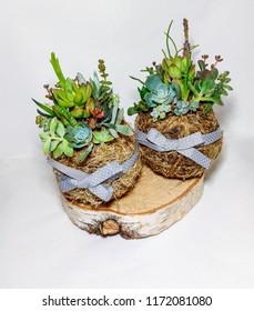 The succulent terrariums in kokedamas
