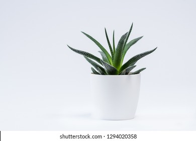 Succulent with white background