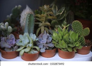 Succulents cactus in desert botanical garden. Succulents cactus for decoration. Cactus succulents in a planter. Closeup of cactus succulent plant.