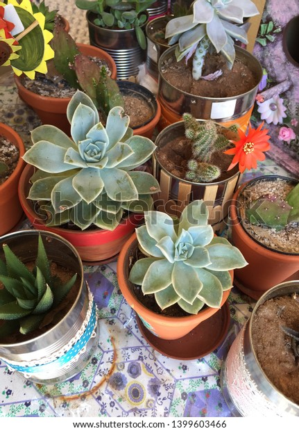 Succulents and cactus for sale in a variety of tins and terra cotta pots on a table.