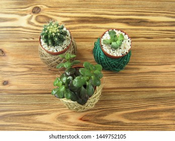 Succulents in decorative flower pots. Houseplant. Floriculture.
