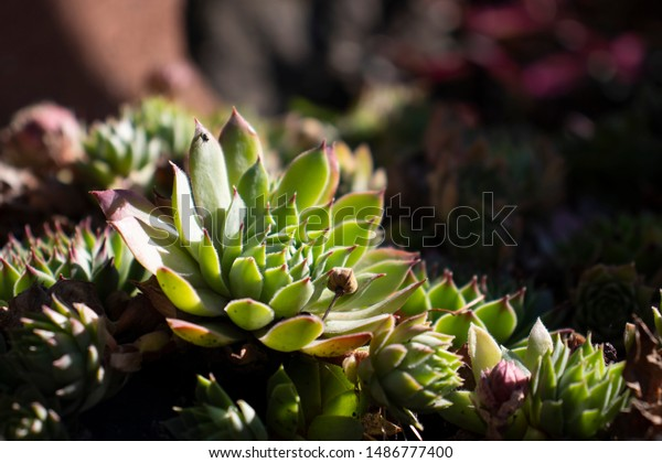 Succulents Grow Garden On Natural Background Stock Photo Edit Now