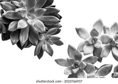 Succulents isolated on white background